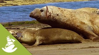 Download The heavy, forced mating of the Elephant Seals Video