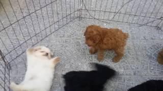 Download bán chó poodle tại đà nẵng Video