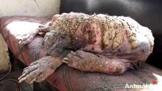 Download Awe-inspiring recovery of a dog turning to stone from mange Video