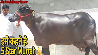 Download 👍5 Star Murrah Buffalo @Village Singhwa khas.👍ऐसी झोटी पहले कभी नही देखी होगी (9416754000)👍 Video