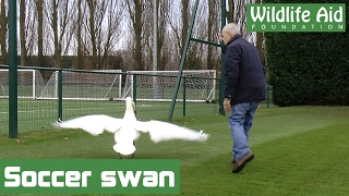 Download Football mad swan gets lost! Video