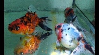 Download Step by Step How to Breed Goldfish in Aquarium (Natural Way) Video