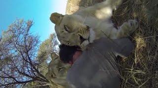 Download Lion Gets JEALOUS   The Lion Whisperer Video