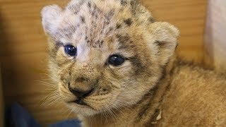 Download Lion Cub's First Birthday Video