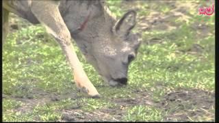 Download Infodrom: Moj prijatelj Bambi Video
