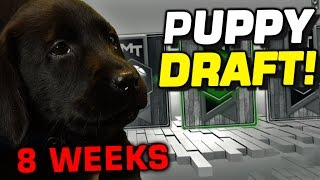 Download 8 WEEK OLD BLACK LAB PUPPY DRAFT! Video