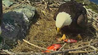 Download 03-20-18 West End eagles; feeding the new baby. Video