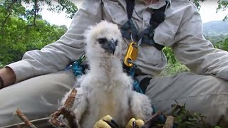 Download Inside a Harpy Eagle Nest | Ultimate Killers | BBC Video