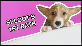 Download Corgi Puppy's First Bath! | Vlog Video
