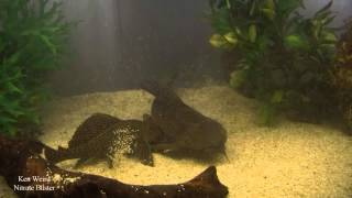 Download Two Plecostomus Fish Breeding Fish Video
