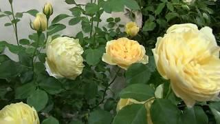 Download 国際バラとガーデニングショー バラのタイムトンネル 150年のバラ物語 Video