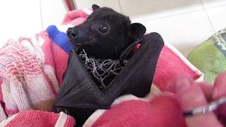 Download Gentle Harry the bat knows we are here to help Video