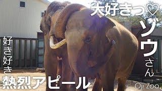 Download 好き好きゾウさん♡【王子動物園】長~いお鼻で熱烈求愛中!! ゾウさんカップル Video
