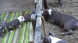 Download PUPPIES FOR SALE 2018 Video