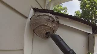 Download Baldfaced Hornet Nest Removed From Under House Overhang. First Job of 2016. Video