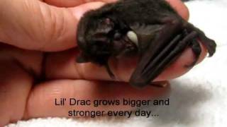 Download This Cute Baby Bat is Amazing... Video