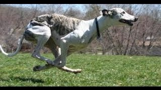 Download ASFA Trial Whippets Lure Coursing Race 5 Video