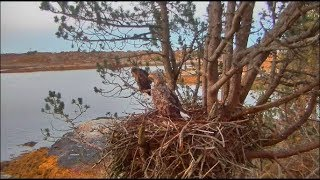Download Smola Norway Eagles Nest Cam ~ Overnighters For Mom & Dad 10.19.17 Video