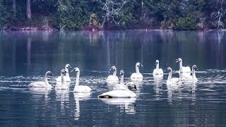 Download The REAL Swan Lake: Trumpeter Swans by the Hundreds Taking Flight (HD) Video