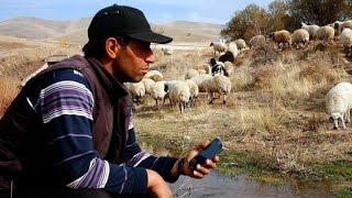 Download Kaval niyetine akıllı telefonuyla koyun güden çoban Video