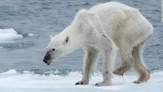 Download Polar Bear Dying From Global Warming Video