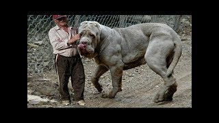 Download Giant dogs of the world part 1!!! Video