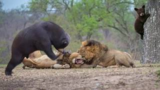 Download Lion Of The Andes Fail | Mother Gizzly Bear Save Baby From Puma Hunting Video