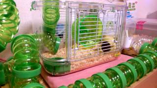 Download 美人子供ハムスターが新しい家に入る瞬間‼︎ 〔 The moment the cute child hamster is entering a new house〕 Video