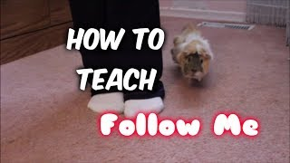 Download How to Teach a Guinea Pig to Follow You Video
