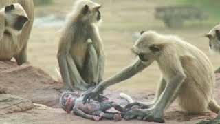 Download 아기 원숭이 로봇을 진짜 원숭이 무리에게 가져다 놓았더니, 놀라운 행동을 보이는데.. Video