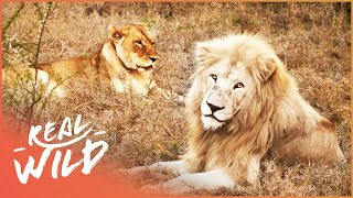 Download Long Distant Lion Lovers Meet For The First Time! | Extraordinary Animals Video