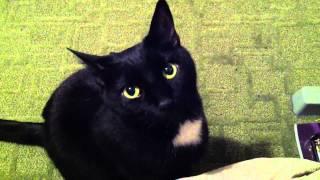 Download Cute black cat Video