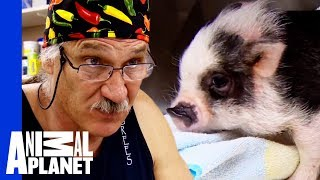 Download Bentley The Adorable Micro Pig Needs Risky Surgery | Dr. Jeff: Rocky Mountain Vet Video