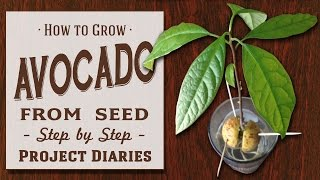 Download ★ How to: Grow Avocado from Seed (A Complete Step by Step Guide) Video