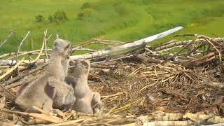 Download Don't bonk my little brother! - Charlo osprey cam Video