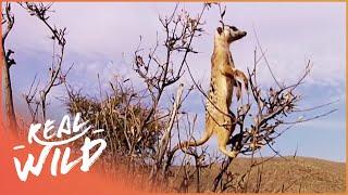 Download Meerkats In The Wild [Episode 5 Of Kalahari Meerkats] | Real Wild Video