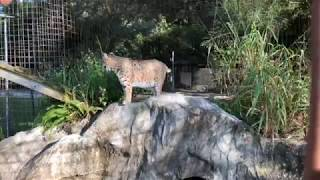 Download Q & A with Brittany at Big Cat Rescue 09182018 Video