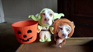 Download Dogs in Costumes Go Trick-or-Treating on Halloween: Cute Dogs Maymo & Penny Video