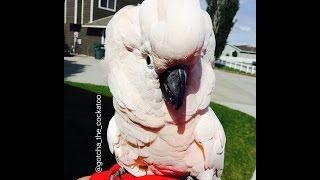 Download It's a Cockatoo Tantrum! 🙉 *SUBTITLED* Video