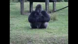 Download Gorilla using sign language at Miami Zoo telling someone he can't be fed... Video