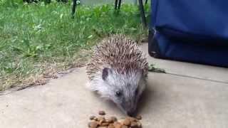 Download Exklusiv: Igel klaut Katzenfutter Video