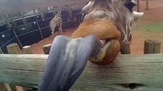 Download Feeding Giraffes with 20 inch Tongues! Video