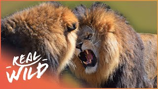 Download Male Lions Fighting   Wild Things Shorts Video