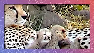 Download Newborn Cheetahs in the Wild | Clown School Auditions Video
