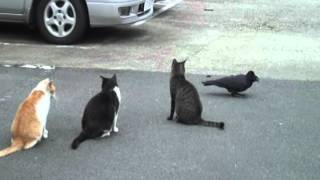Download 谷中猫400態-No376「カラスと猫」/Crow and cat Video