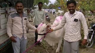 Download Nasik farmer bought cows at Pandharpur Video