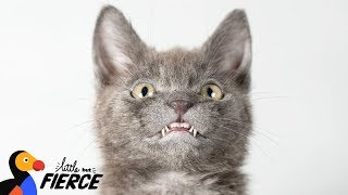 Download Kitten Has The World's Most Adorable Smile - WOLFIE | The Dodo Little But Fierce Video
