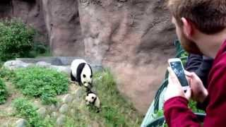 Download Baby Panda at the San Diego Zoo Video