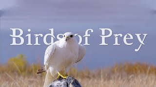Download BIRDS OF PREY 4K (ULTRA HD) 60fps Video
