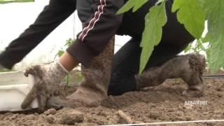 Download Sadnja paradajza u plasteniku Domaćin 465 Video